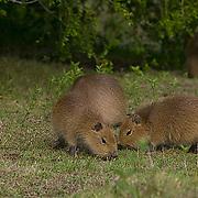 South America, Uruguay, Rocha, Parque Nacional Santa Teresa, Estacion Biologica Potrerillo de Santa Teresa, capybara, Hydrocoerus hydrochaeris, carpincho, young, juveniles, grazing