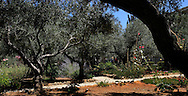 The Garden of Gethsemane in Jesrsalem<br /> Photo by Dennis Brack