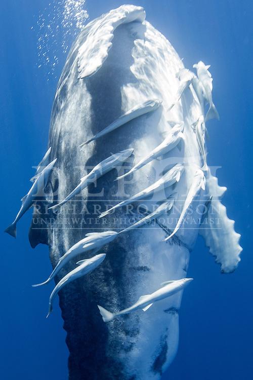Megaptera novaeangliae (Humpback Whale) calf off the coast of the Vava'u Island group in the Kingdom of Tonga.<br /> Saturday 01 September 2012.<br /> Photograph Richard Robinson &copy; 2012.