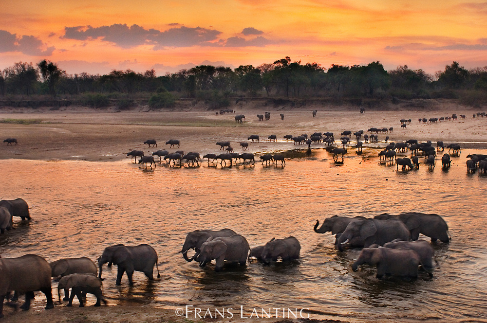 Elephants and Cape buffaloes crossing Luangwa River, Zambia