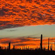 Saguaros against a fiery orange sky.  Saguro Park West, Tucson, AR.
