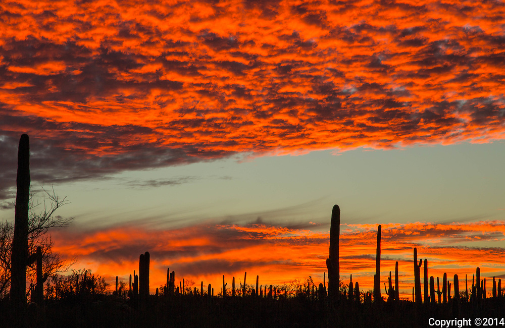 Saguaros against a fiery orange sky.  Saguro Park West, Tucson, AR.