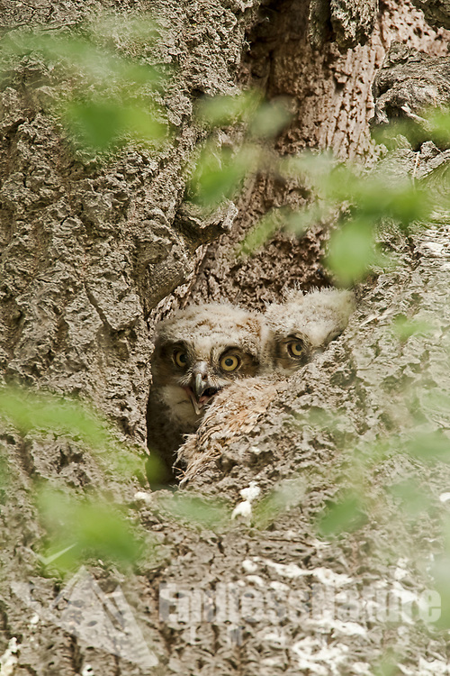 Great Horned Owlets peeking out of their nesting cavity in a cottonwood tree at Antelope Island in northern Utah.