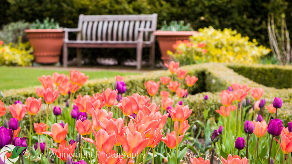 Orange and Purple tulips bloom at Abbeywood Gardens, Cheshire, photographed in April.