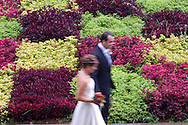 Newlyweds walking past a terrace planted in a checkerboard pattern of<br /> green and dark red plants.  Jardim Botanico, Madeira, Portugal