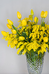 Vase of mimosa with yellow french tulips