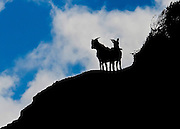 Mountain goats are high on a ridge in Waimea Canyon, Koke'e State Park, Kalalau Lookout, Kaua'i, Hawaii.