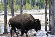 Cow Bison, Female Bison, Bison, Buffalo, Yellowstone National Park, Yellowstone, Wyoming