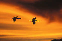 USA, New Mexico, Bosque del Apache Wildlife Refuge. Two sandhill cranes fly through dark clouds into the orange sunset. Credit as: © Josh Anon / Jaynes Gallery / DanitaDelimont.com