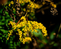 Rigid Goldenrod Flower. Image taken with a Fuji X-H1 camera and 80 mm f/2.8 macro lens + 1.4x teleconverter