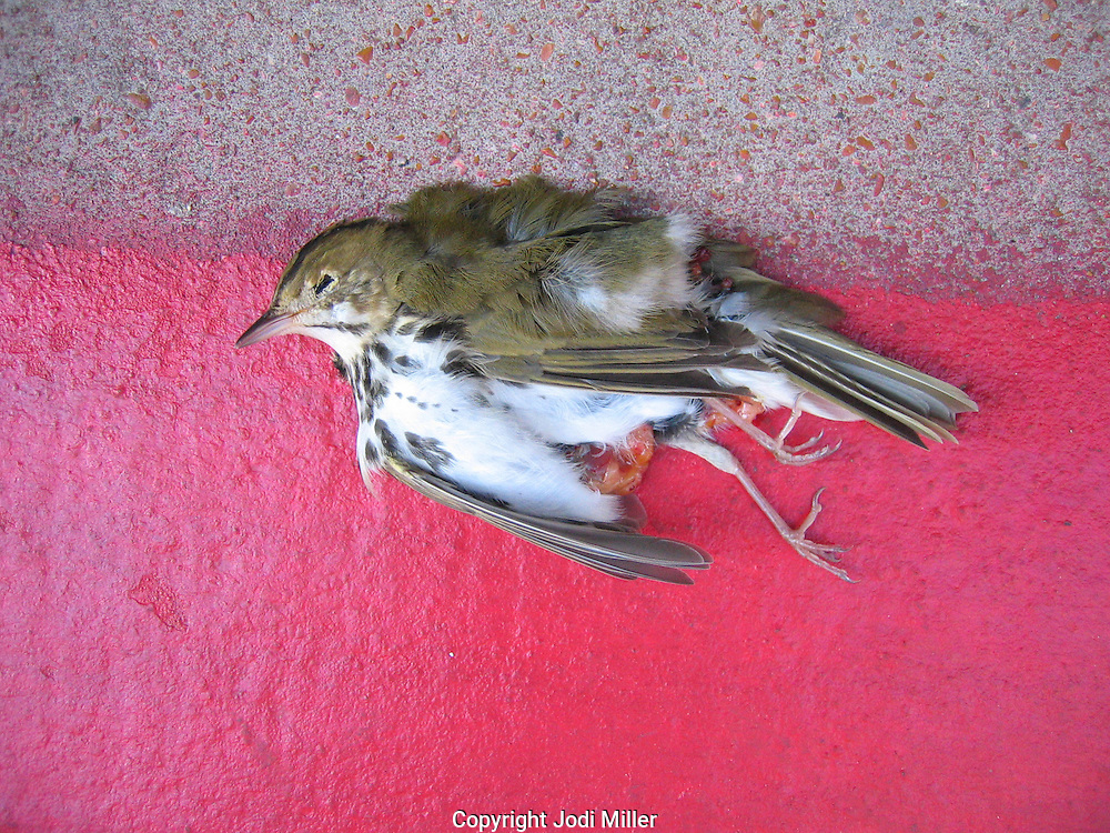 A bird killed after flying into a window.