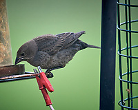 Female Brown-headed Cowbird. Image taken with a Nikon D5 camera and 600 mm f/4 VR lens (ISO 1600, 600 mm, f/4, 1/1000 sec).