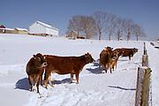 Snow, cattle and farm landscape, Cumru Township, Berks Co., PA