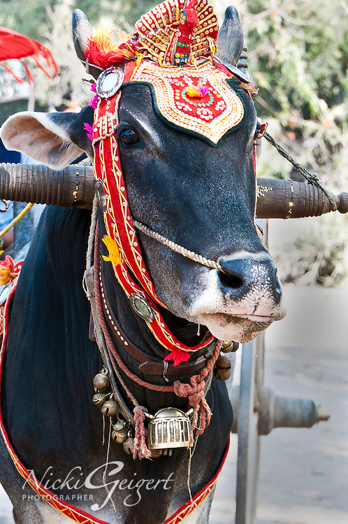 Ceremonial cow with decoration for ritual, India. People and Places fine art photography.