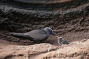 Brown (Common) Noddy (Anous stolidus galapagensis) & chick<br /> GALAPAGOS ISLANDS,<br /> ECUADOR.  South America<br /> ENDEMIC SUBSPECIES