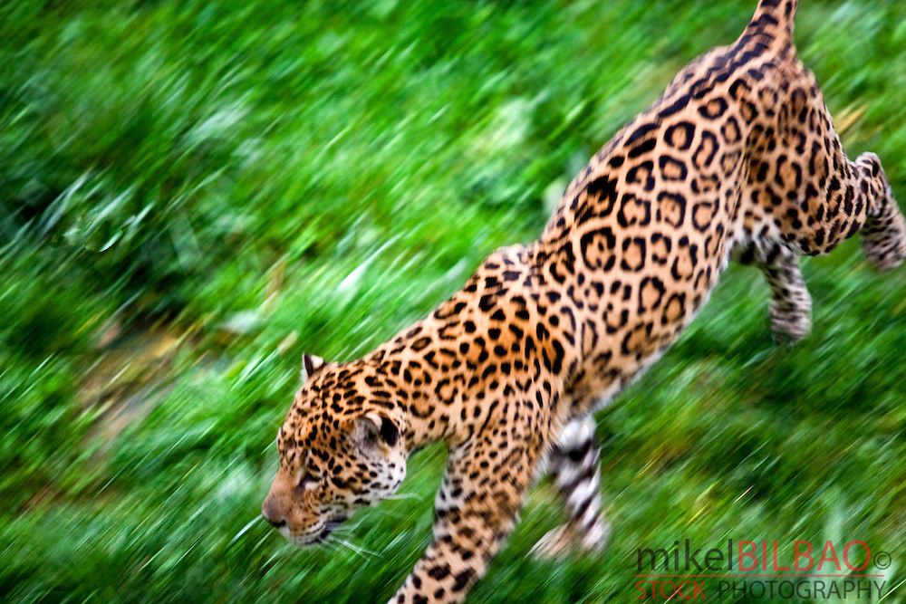 jaguar (Panthera onca) in motion. The biggest feline in the America tropical rainforest.