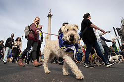 """© Licensed to London News Pictures. 07/10/2018. London, UK. Dogs march with their pro-remain owners to Parliament Square to demand a """"People's Vote"""" on the final Brexit agreement.  Photo credit: Peter Macdiarmid/LNP"""
