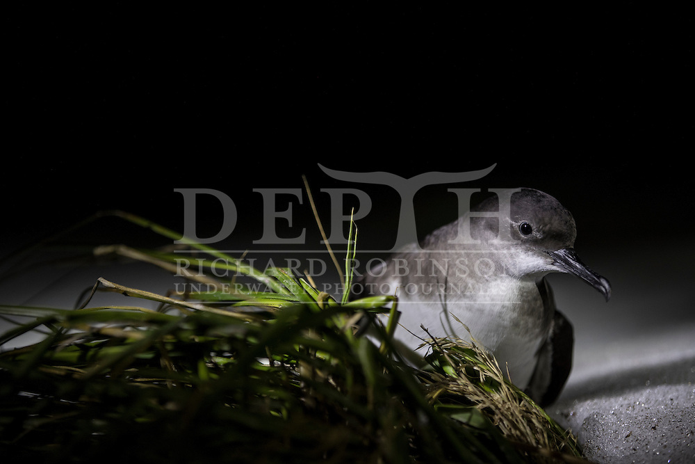 The Hutton&rsquo;s shearwater (Puffinus huttoni) also known as the Kaikōura tītī is the only seabird globally to breed in an alpine environment in the Seaward Kaikōura Range in the South Island of New Zealand.<br /> Friday 30 September 2016<br /> Photograph Richard Robinson &copy; 2016
