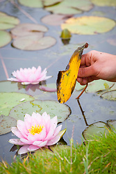 Removing dead leaves from a waterlily