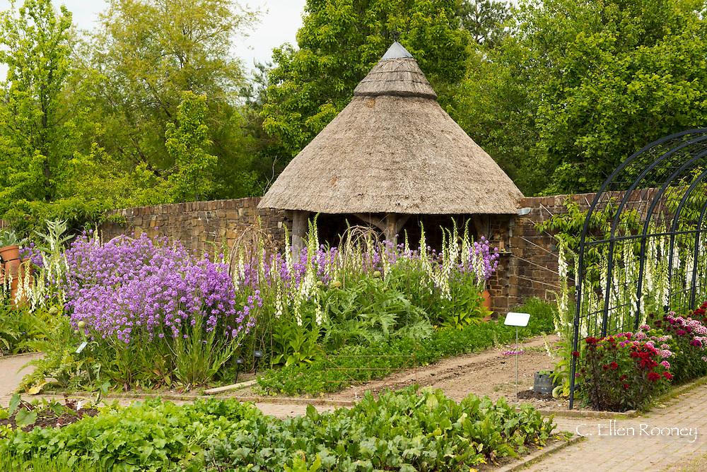 Hesperis matronalis (sweet rocket), Digitalis purpurea forma 'Albiflora' and Artichoke 'Imperial Star' growing in The Kitchen Garden at The RHS Garden Rosemoor, UK