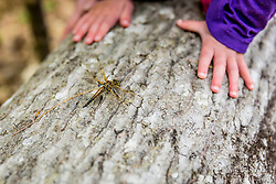 A dragonfly and a girl's hands on a log in the woods at the Orris Falls Preserve in South Berwick, Maine.