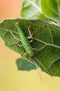Walkingstick (Timema californicum) - male<br /> CALIFORNIA: Monterey Co.<br /> Hastings Biological Preserve<br /> 9-May-2015<br /> J.C. Abbott &amp; K.K. Abbott
