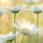 Leucanthemum vulgare_oxeye daisy