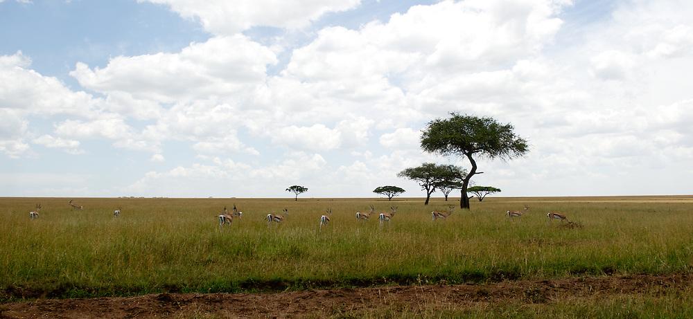 Landscape with Thomson's Gazelles