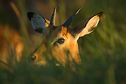 Young male Impala keeping a watchful eye out for predators.