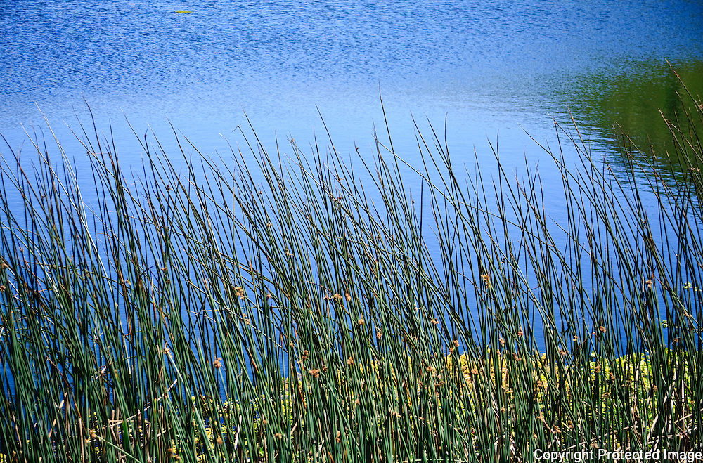 Tule Reeds in the golden Gate National Recreation Area Marin Headlands