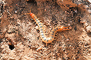 Centipede (Scolopendra) a venomous night predator. Photographed in Israel in December