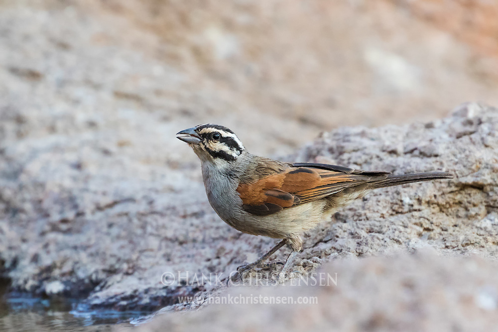 A cape bunting stands on a rocky outcropping, Damaraland, Namibia.