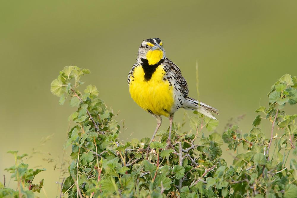 Male Western Meadowlark, Western Montana
