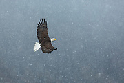 Bald eagle in flight on a snowy day in Alaska