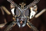 The face of a giant beetle (batocera rubus) on Mount Kinabalu