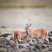 Caracal and offspring, Ngorogoro Crater, Tanzania