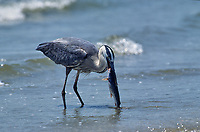 Great Blue Heron (Ardea herodias) with catfish discarded by fisherman on the beach, Galveston, Texas, USA - Photo: Peter Llewellyn