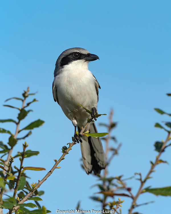 Loggerhead Shrike on lookout after feeding young, Lanius ludovicianus, Celery fields, Sarasota, FL