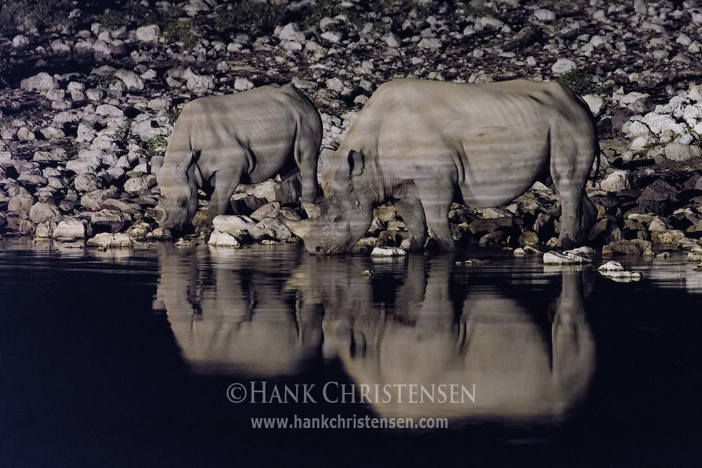 Under the cover of darkness, two endangered black rhinos socialize and drink from the Okaukuejo Waterhole, their bodies reflected in the still water.  These uncommon rhinos are rarely seen in daylight and are usually solitary creatures.  Only at night can they be seen interacting with one another socially.
