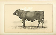 Flemish Bull from Cattle and dairy farming. Published 1887 by Govt. Print. Off. in Washington. United States. Bureau of Foreign Commerce (1854-1903)