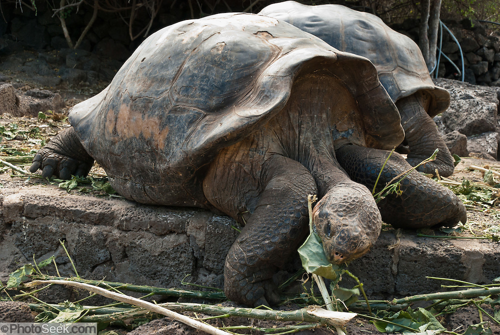 A Galápagos giant tortoise (Chelonoidis nigra, formerly Geochelone elephantopus) eats leaves at the Charles Darwin Research Station (CDRS, operated by the Charles Darwin Foundation) in Puerto Ayora on Santa Cruz Island, Galápagos islands, Ecuador, South America. This species is the largest living tortoise and is native to seven islands of the Galápagos archipelago. Fully grown adults can weigh over 300 kilograms (661 lb) and measure 1.5 meters (5 feet) over the curve of the shell. They are long-lived with a life expectancy of up to 100-150 years in the wild. Populations fell dramatically because of hunting and the introduction of predators and grazers by humans since the 1600s. Only ten subspecies of the original twelve exist in the wild. Since Galápagos National Park and the Charles Darwin Foundation were established, hundreds of captive-bred juveniles have been released back onto their home islands.