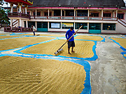08 NOVEMBER 2017 - SI NAWA, NAKHON NAYOK, THAILAND: A worker rakes rice drying in the sun at a local Buddhist temple during the 2017 rice harvest in Nakhon Nayok province. Thailand is the second leading rice exporter in the world and 16 million Thais work in the rice industry.       PHOTO BY JACK KURTZ