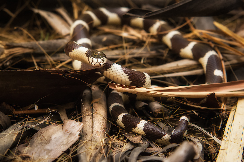 This rather aggressive kingsnake was seen hunting through the fallen palm fronds of the Coachella Valley Oasis in Southern California. After spotting it, it took a few tries to catch it, and upon release it reared nicely for me in this strike pose.