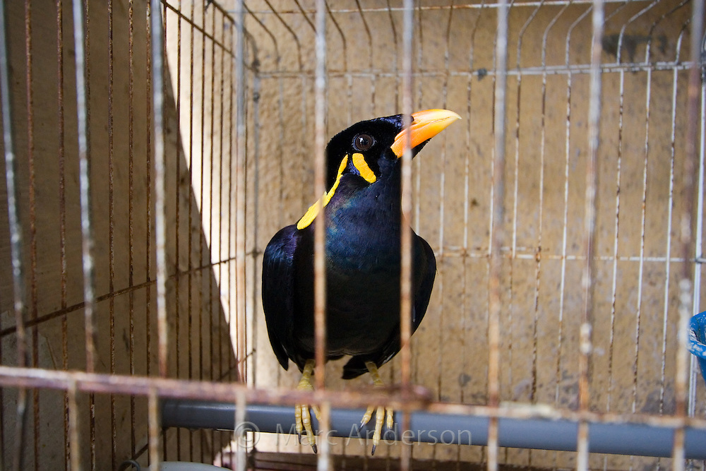 Hill Mynah in a Cage | Marc Anderson Photography - photo#10