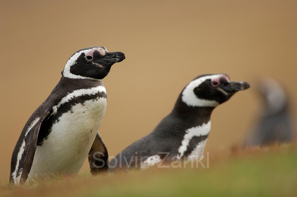 Mit ca. 73 cm Körpergröße gehört der Magellanpinguin (Spheniscus magellanicus) zu den  mittelgroßen Pinguinarten. Er ist an den von vorne gesehen zwei schwarzen Streifen auf der oberen Brust zu erkennen, während der sehr ähnliche Humboldtpinguin nur einen Bruststreifen hat.  With a body size of ca. 73 cm the Magellanic penguin (Spheniscus magellanicus) belongs to the medium sized penguin species. The two black pectoral bands are characteristic and help to distinguish it from the very similar Humboldt penguin, which has only one such band.