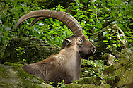 Deu, Deutschland: Steinbock (Capra ibex), Männchen mit größen Hörnern liegt im Gras, Lebensraum: Alpen, Steinwasen-Park Oberried, Baden-Württemberg | DEU, Germany: Alpine Ibex (Capra ibex), male with big horns lying on grass, habitat: European Alps, Steinwasen-Park, Oberried, Baden-Wuerttemberg |