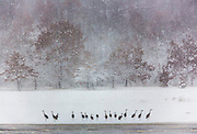 Sandhill Cranes stand along the Wisconsin River near Baraboo, Wisconsin as snow is falling.