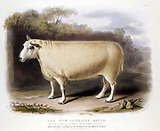 New Leicester (Dishley) ram. This breed of sheep created through selective breeding by Robert Bakewell (1725-1795) on his farm at Dishley, Leicestershire. Hand coloured lithograph 1842