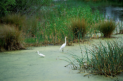 Wakulla County, Florida: A Common Egret and friend enjoy a backwater swamp within the St. Marks National Wildlife Refuge.