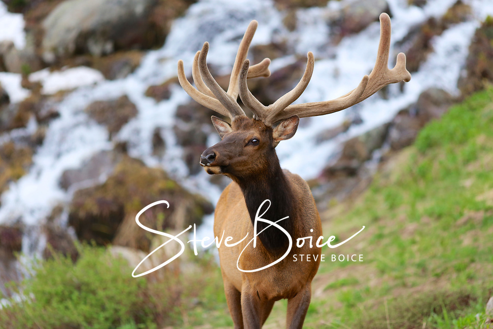 Elk with a waterfall in the background
